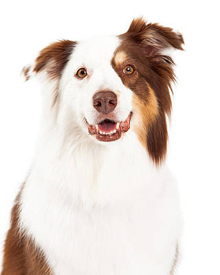 Head Shot Of Beautiful Border Collie Poster