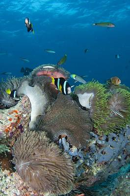 Healthy Reef Scene With Anemonefish Poster by Science Photo Library