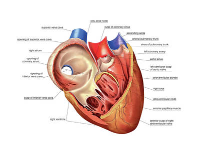 Heart Atrium And Ventricle Poster