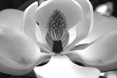 Heart Of The Magnolia Black And White Poster
