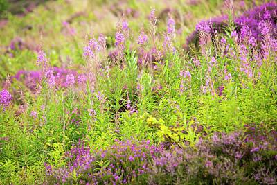 Heather And Rose Bay Willowherb Poster by Ashley Cooper