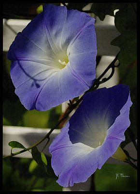 Poster featuring the photograph Heavenly Blue Morning Glory by James C Thomas