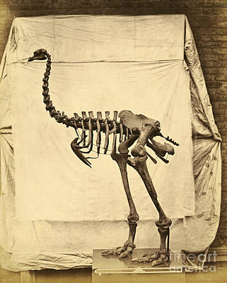 Heavy Footed Moa Skeleton Poster by Getty Research Institute