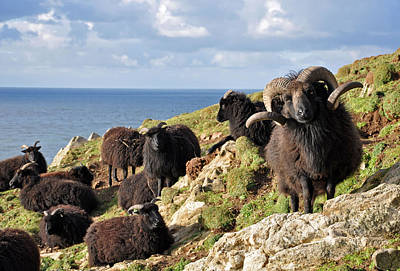 Hebridean Sheep At Baggy Point Poster