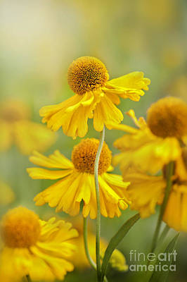 Helenium Butter Pat Poster by Jacky Parker