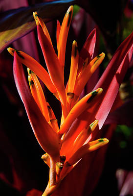 Heliconia Glow Poster