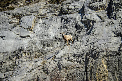 Big Horn Sheep Coming Down The Mountain  Poster