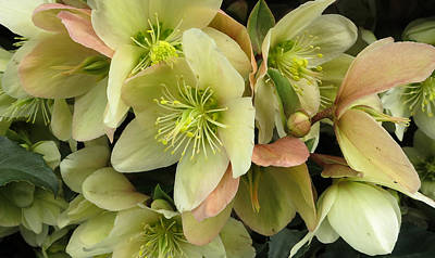 Hellebores Poster by Patricia Januszkiewicz
