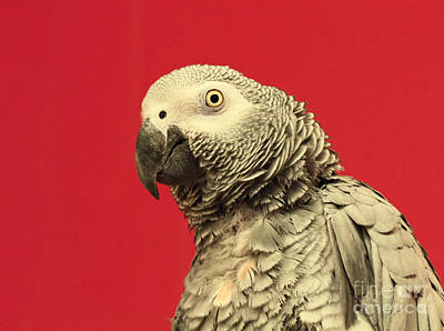 Hello There - Amazon Gray Parrot  Poster