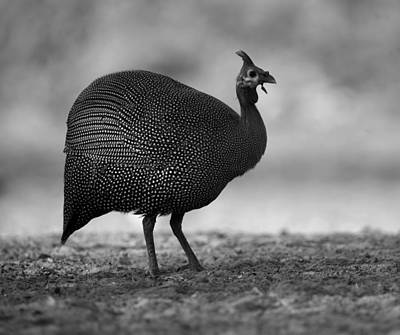 Helmeted Guineafowl Poster