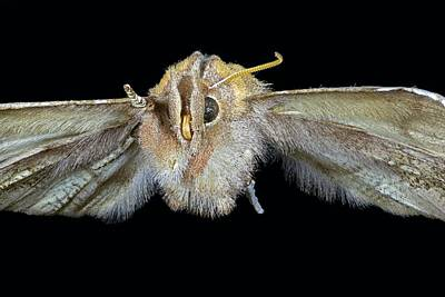 Herald Moth Poster by Frank Fox