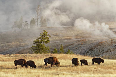 Herd Of Bison Near Old Faithful Geyser Poster