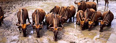 Herd Of Blue Wildebeests Connochaetes Poster