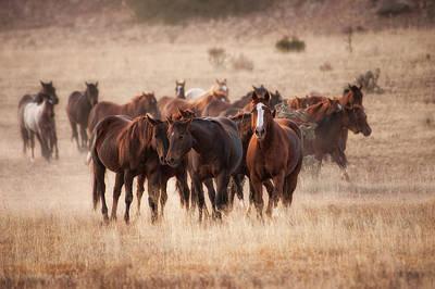Herd Of Horses In Dry Grasses Of New Poster