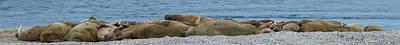 Herd Of Walrus Odobenus Rosmarus Poster by Panoramic Images