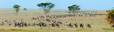 Herd Of Wildebeest And Zebras Poster