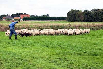 Herding Sheep Poster