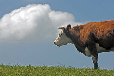 Poster featuring the photograph Hereford Cow by Dennis Cox WorldViews