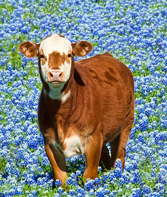 Poster featuring the photograph Heres Looking At You Kid - Calf With Bluebonnets In Texas by David Perry Lawrence