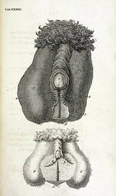 Hermaphrodite Sex Organs Poster by British Library
