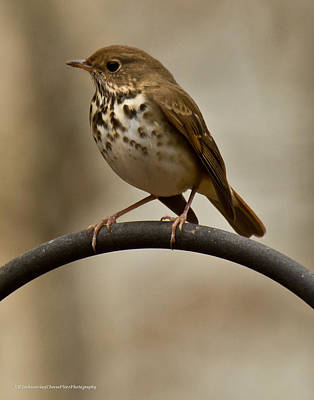 Poster featuring the photograph Hermit Thrush by Robert L Jackson
