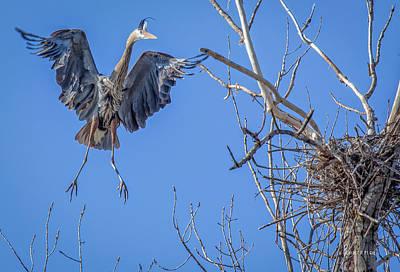 Heron Landing On Nest Poster by Everet Regal