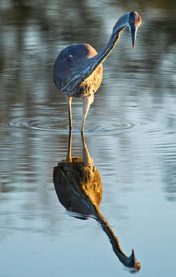 Heron Looking At Its Own Reflection Poster by Andres Leon