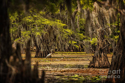 Heron On Caddo Lake  Poster