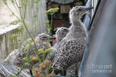 Herring Gull Chicks Poster