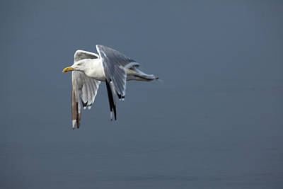 Herring Gull In Flight Poster
