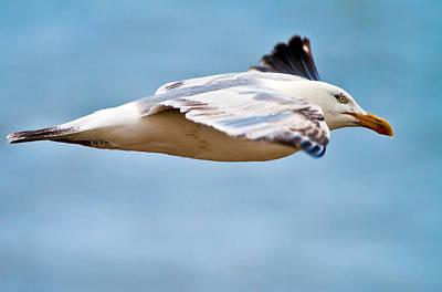 Herring Gull In Flight Poster by Mr Bennett Kent