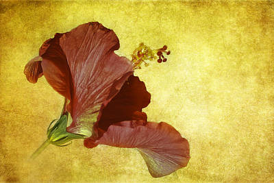 Hibiscus Poster by Cyndy Doty