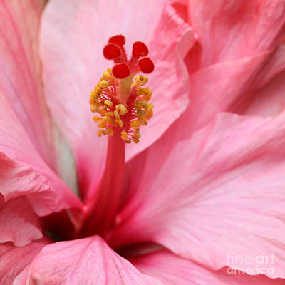 Hibiscus Flower Close Up Poster