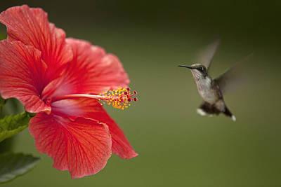 Hibiscus Hummingbird Poster