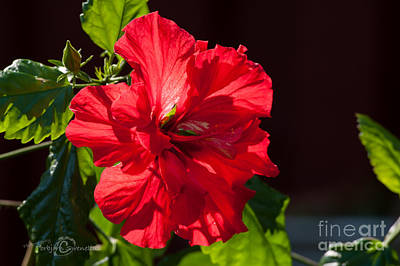 Hibiscus Rosa Sinensis - Pride Of Hankins Double Fuschia Pink Poster