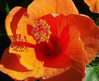 Poster featuring the photograph Hibiscus by Suzanne Silvir