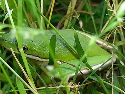 Hidden Frog Poster