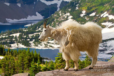 Poster featuring the photograph Hidden Lake Goat by Aaron Whittemore