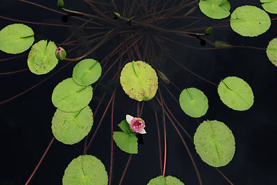 High Angle View Of Lily Pads In Pond Poster