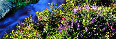 High Angle View Of Lupine And Spirea Poster
