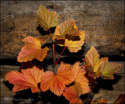 High Bush Cranberry Leaves Poster