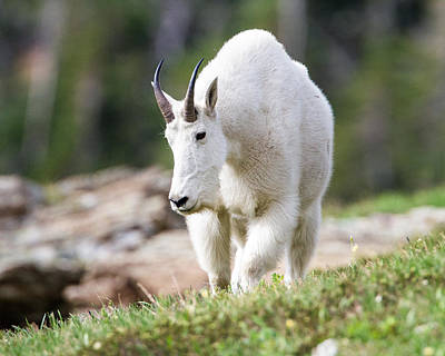 Poster featuring the photograph High Country Mountain Goat by Jack Bell