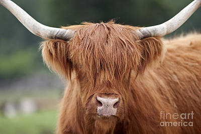 Highland Cattle Poster by Brandon Alms