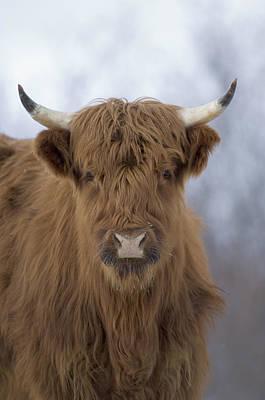 Highland Cattle Kodiak Island Alaska Poster by Michael Quinton