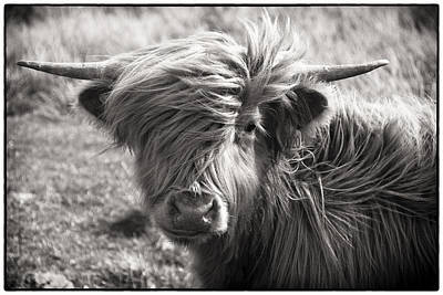 Highland Cow In The Outer Hebrides Of Scotland Poster by Adele Buttolph