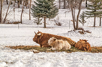 Highland Cow With Calves Poster