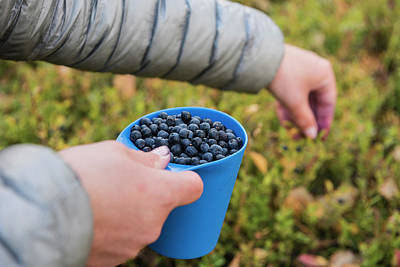 Hiker Picking Wild Blueberries Poster