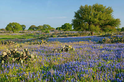Hill Country, Texas, Bluebonnets, Oak Poster by Alice Garland