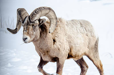 Big Horns On This Big Horn Sheep Poster