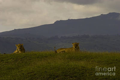Poster featuring the photograph Hillside Lions by J L Woody Wooden
